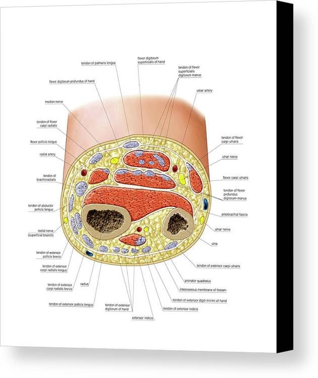 Cross-section Of Forearm Canvas Print / Canvas Art by Asklepios ...