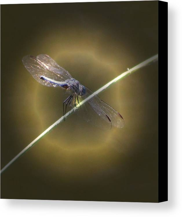 Insect Canvas Print featuring the photograph Dragonfly 1 by Judith Szantyr
