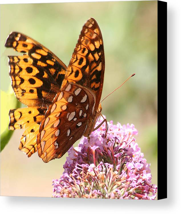 Canvas Print featuring the photograph Butter Fly Thrown Looking Right by Curtis J Neeley Jr
