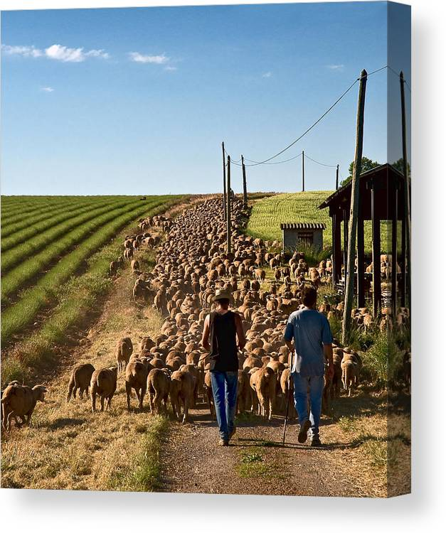 Sheep Canvas Print featuring the photograph Moving The Sheep by Gareth Davies