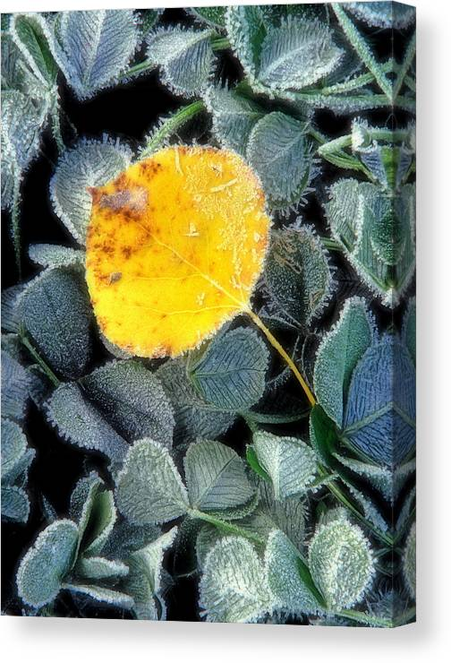 First Frost Canvas Print featuring the photograph Gold On Green by Bill Morgenstern