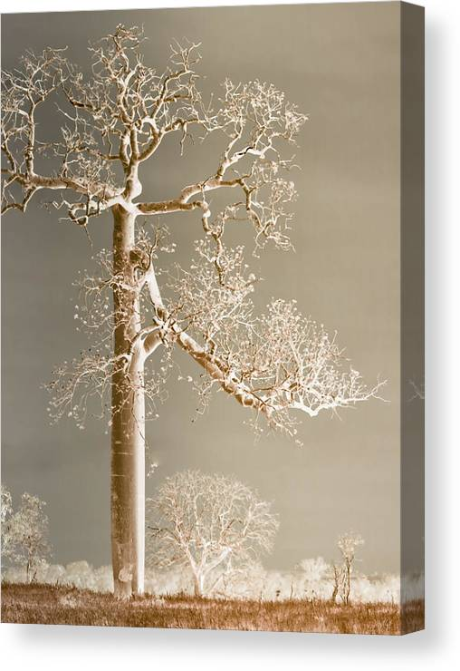 Landscapes Canvas Print featuring the photograph The Dreaming Tree by Holly Kempe