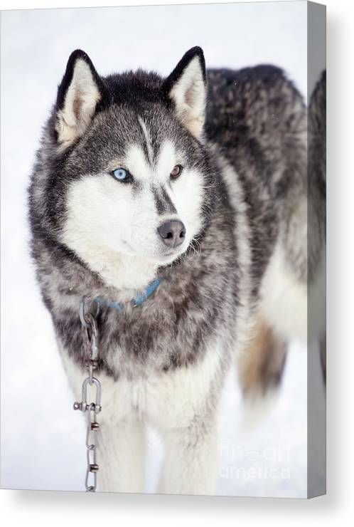 Husky Dog Large Poster Art Print Black /& White in Card or Canvas
