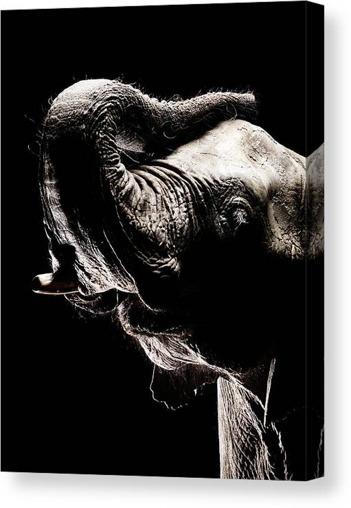 Animal Trunk Canvas Print featuring the photograph African Elephant With The Trunk Raised by Henrik Sorensen