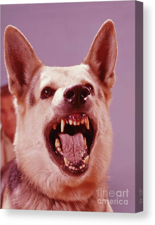 Snarling Canvas Print featuring the photograph German Shepherd Dog Snarling by H. Armstrong Roberts