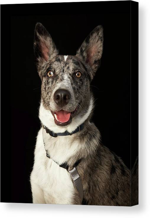 Pets Canvas Print featuring the photograph Grey And White Australian Shepherd With by M Photo