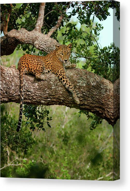 Animal Themes Canvas Print featuring the photograph Leopard Sitting On A Branch by Thilanka Perera