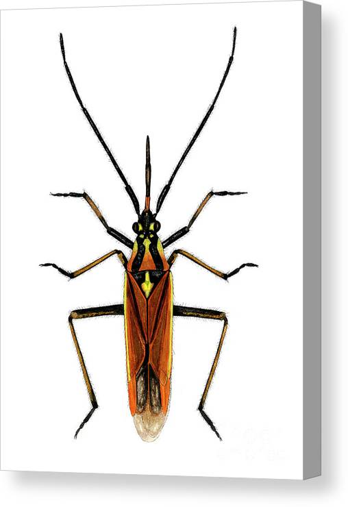 Hop Capsid Canvas Print featuring the photograph Male Hop Capsid Bug by Dr Keith Wheeler/science Photo Library