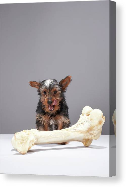Pets Canvas Print featuring the photograph Puppy With Oversized Bone by Martin Poole