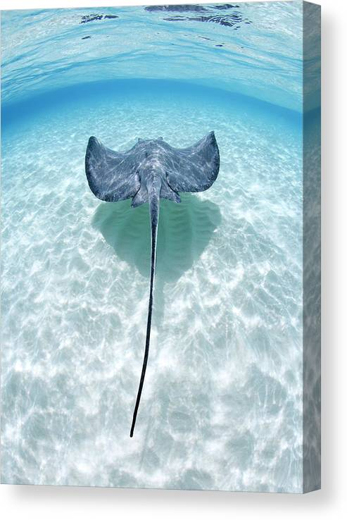 Underwater Canvas Print featuring the photograph Southern Stingray Cayman Islands by Justin Lewis