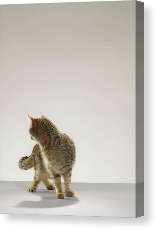 Pets Canvas Print featuring the photograph Tabby Cat Looking Behind by Michael Blann