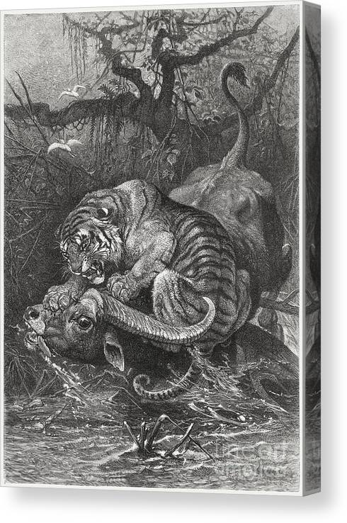 Water's Edge Canvas Print featuring the digital art Tiger Attacks A Water Buffalo, Wood by Zu 09