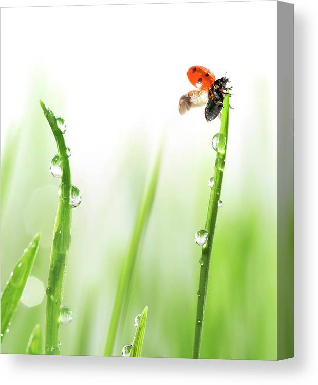 Hanging Canvas Print featuring the photograph Ladybug On Green Grass by Sbayram