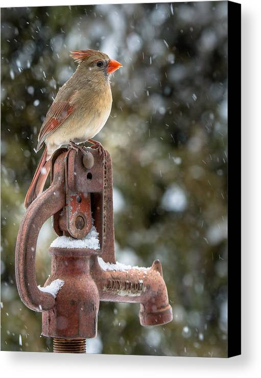 Cardinal Canvas Print featuring the photograph Ms Cardinal by Larry Pacey