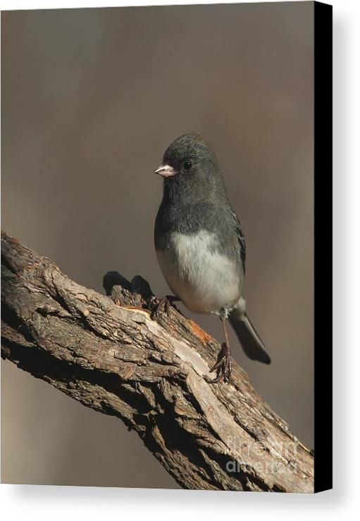 Nature Canvas Print featuring the photograph Dark-eyed Junco by Jack R Brock