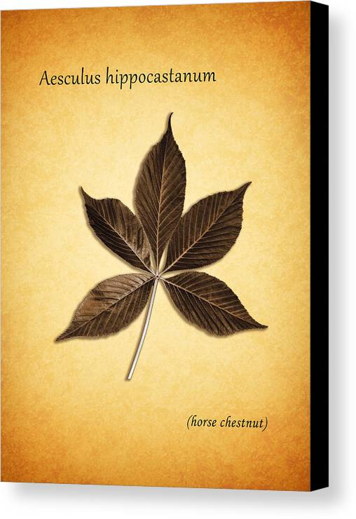 Horse Chestnut Canvas Print featuring the photograph Aesculus Hippocaslanum by Mark Rogan