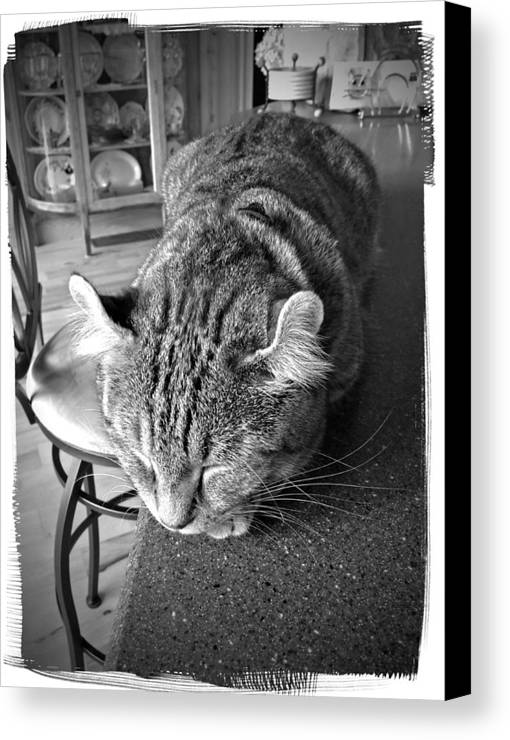 A Gray Tabby Highlander Lynx Cat Asleep On The Kitchen Counter. Canvas Print featuring the photograph Bad Cat by Susan Leggett
