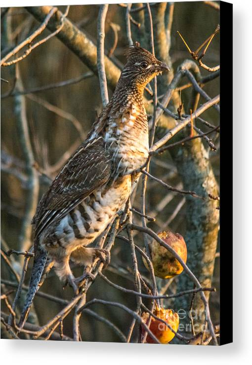 Canvas Print featuring the photograph Grouse In An Apple Tree by Cheryl Baxter