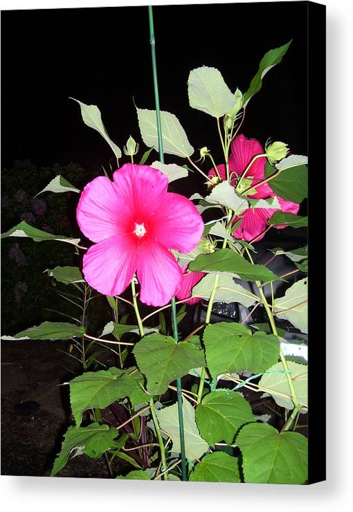 Garden Flower Canvas Print featuring the photograph Hibiscus by Ethel Tashman