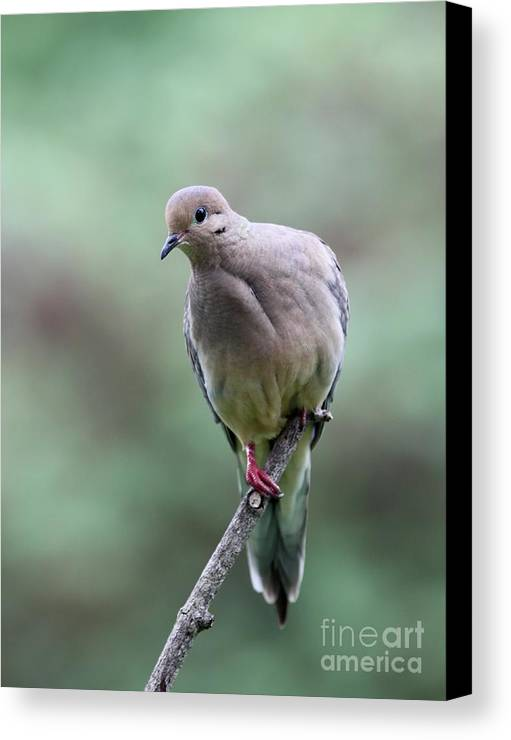 Nature Canvas Print featuring the photograph Mourning Dove by Jack R Brock