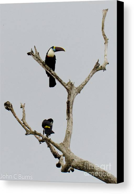 Animals Canvas Print featuring the photograph Toucans In The Trees by John Burns