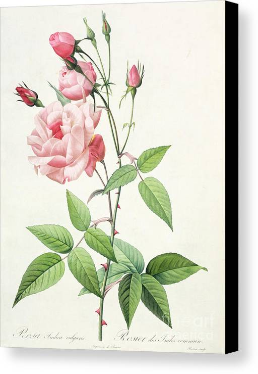 Rosa Canvas Print featuring the drawing Rosa Indica Vulgaris by Pierre Joseph Redoute