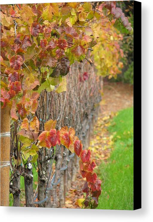 Grapes Canvas Print featuring the photograph Grape Vines In Fall by Jeff White