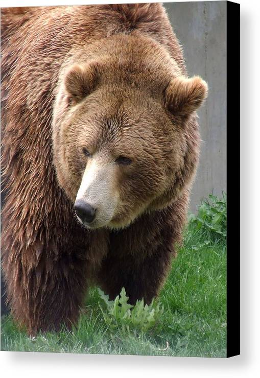 Grizzly Bear Canvas Print featuring the photograph Grizzly Bear by Tiffany Vest
