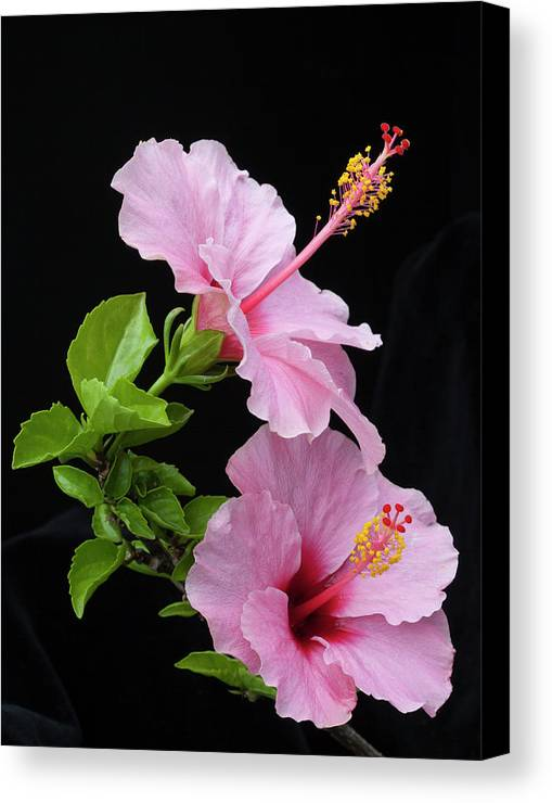 Hibiscus Canvas Print featuring the photograph Hibiscus 7 V4 by George Sanquist