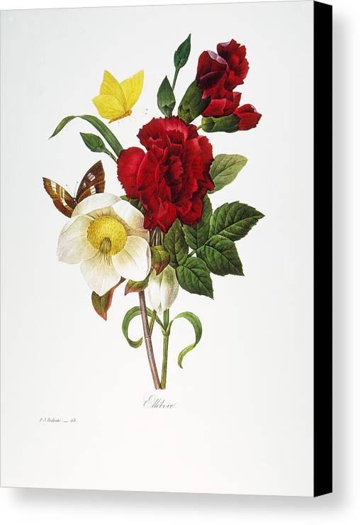 1833 Canvas Print featuring the photograph Redoute: Hellebore, 1833 by Granger