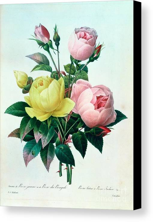 Rosa Canvas Print featuring the painting Rosa Lutea And Rosa Indica by Pierre Joseph Redoute