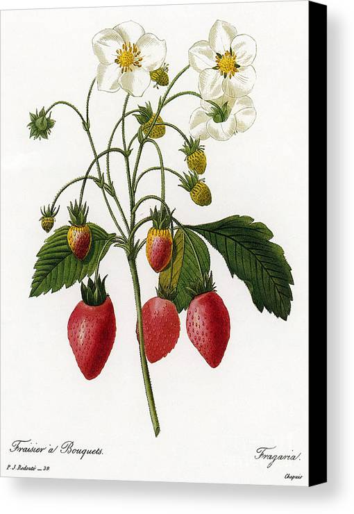 1833 Canvas Print featuring the photograph Strawberry by Granger
