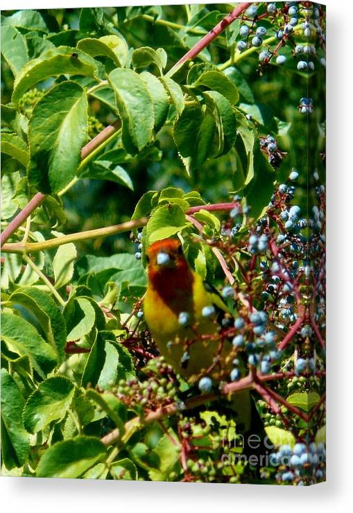 Western Tanagers Canvas Print featuring the photograph A Day With Mr. Tanager 2 by Jacquelyn Roberts