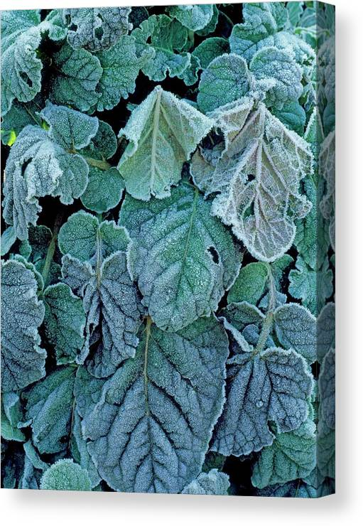 Frost Canvas Print featuring the photograph Frost On Francoa Sonchifolia by Geoff Kidd/science Photo Library