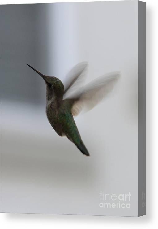 Hummingbird Canvas Print featuring the photograph Hummingbird In Flight by Carol Groenen