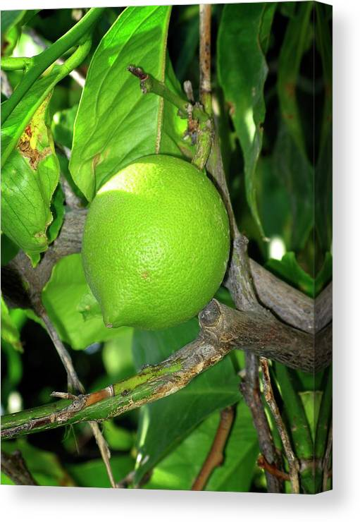 Lime Canvas Print featuring the photograph Lime by Tim Vernon / Science Photo Library