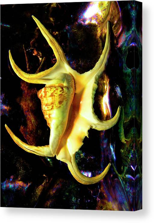 Frank Wilson Canvas Print featuring the photograph Arthritic Spider Conch Seashell by Frank Wilson