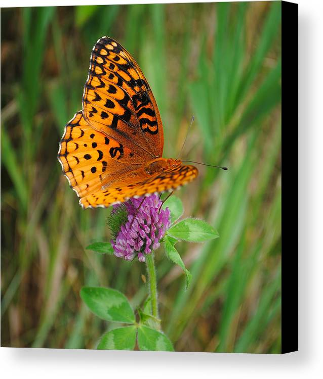 Butterfly Canvas Print featuring the photograph Butterfly by David Hart