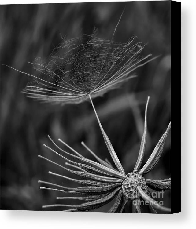 Salsify Canvas Print featuring the photograph Salsify - Wildflower - Seed by Henry Kowalski