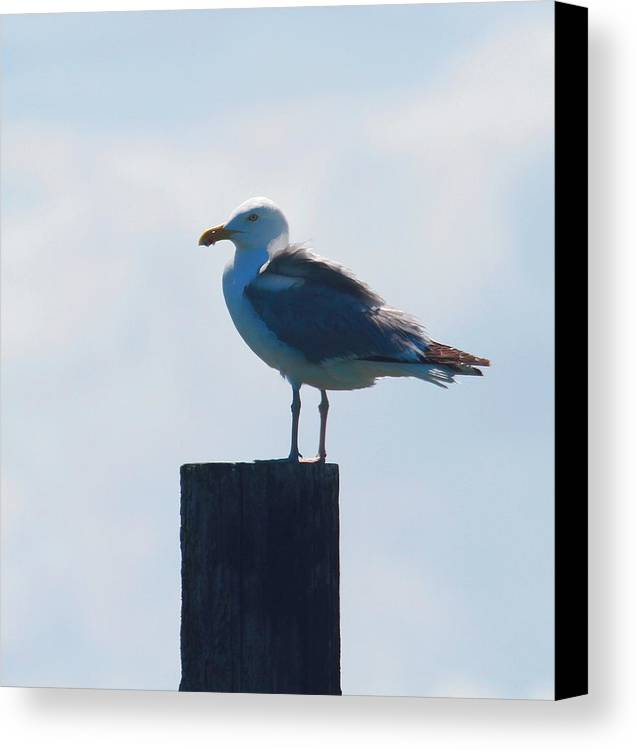 Seagull Canvas Print featuring the photograph Seagull At Oregon Inlet by Cathy Lindsey