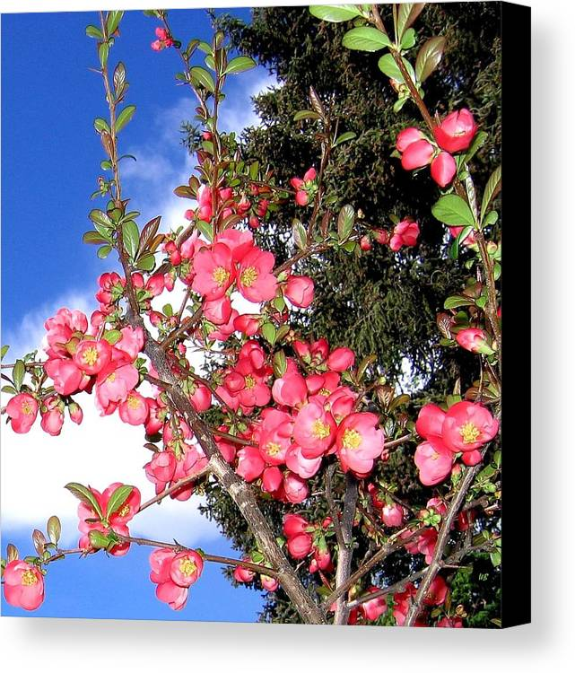 Japonica Canvas Print featuring the photograph Japonica by Will Borden