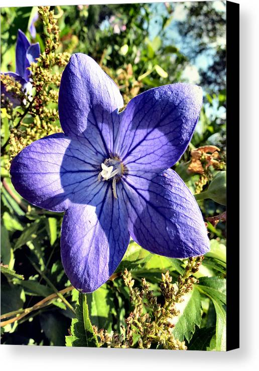 Chinese Canvas Print featuring the photograph Purple Petals by Art Dingo