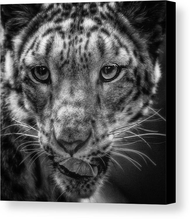 Animal Canvas Print featuring the photograph Cougar by Lijie Zhou