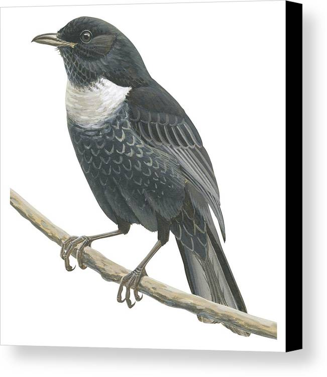 No People; Square Image; Side View; Full Length; One Animal; Animal Themes; Nature; Wildlife; Beauty In Nature; Ring-ouzel; Turdus Torquatus; Perching; Twig; Black; White Canvas Print featuring the drawing Ring Ouzel by Anonymous