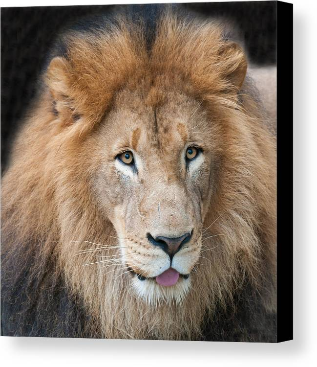 Lion Male Mane Face Portrait Close Up Close-up Tongue Eyes Canvas Print featuring the photograph Portrait Of A Lion by Richard Marquardt