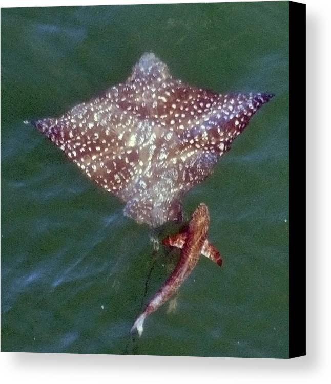 Eagle Ray Canvas Print featuring the photograph Giant Eagle Ray by Bill Perry