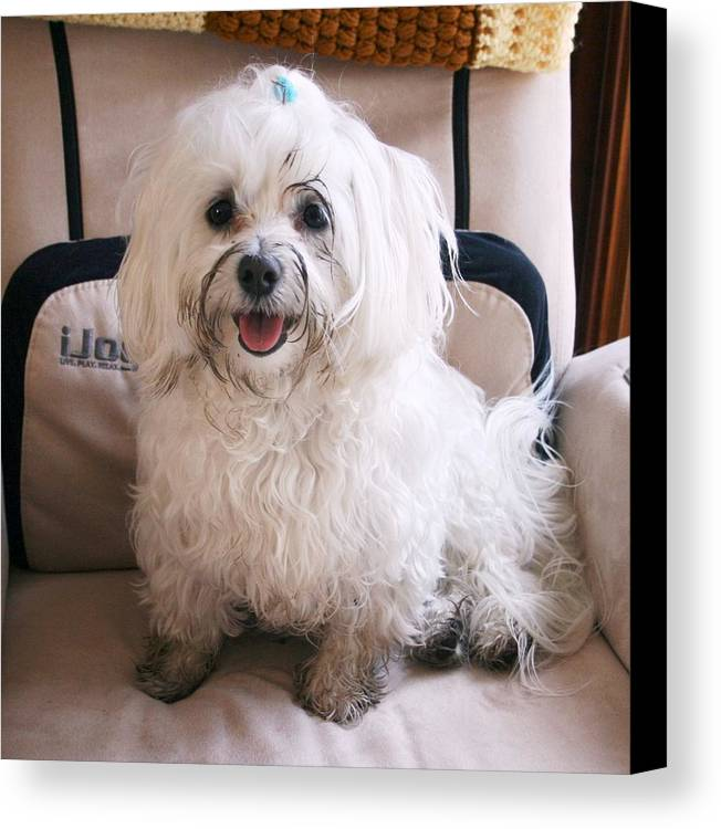 Photography Maltese Dog Canvas Print featuring the photograph Still Having Fun In The Mud by BJ Redmond
