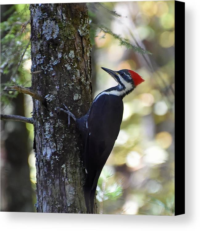 Ann Keisling Canvas Print featuring the photograph Woodpecker by Ann Keisling