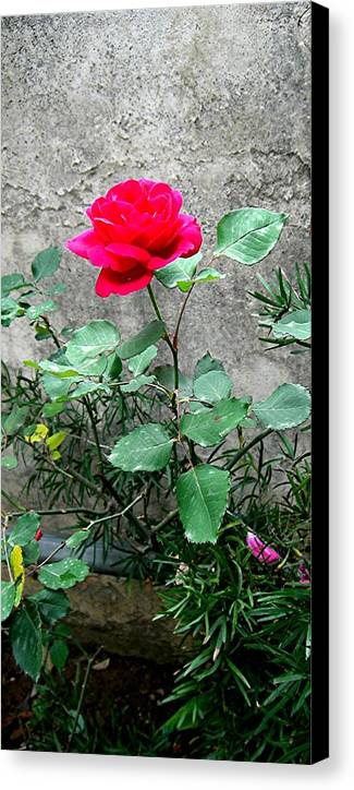 Rose Canvas Print featuring the photograph Pink On Grey Stone by Caroline Urbania Naeem