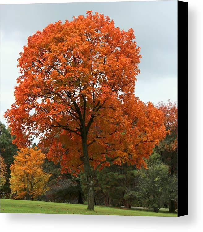 Autumn Canvas Print featuring the photograph Majestic Maple by Rosanne Jordan